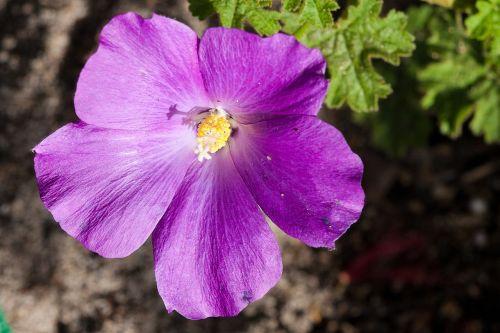 native hibiscus australia aussie