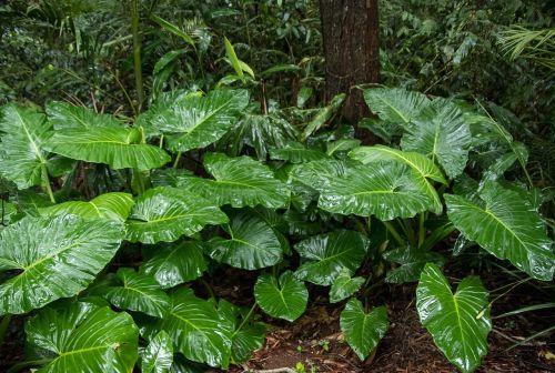 native lily cunjevoi alocasia brisbanensis