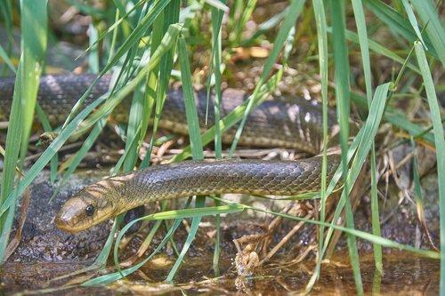 natter  snake  grass snake