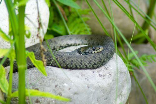 natter snake nature