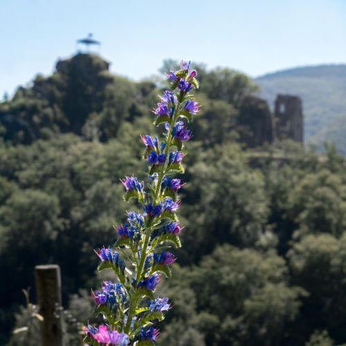 natter head pointed flower flower
