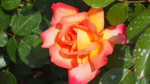 natural yellow pink rose rose