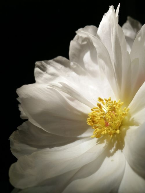 natural plant chinese herbaceous peony
