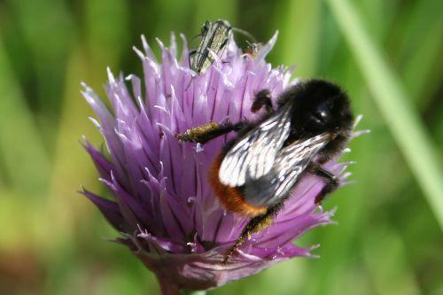 natural bumblebee chives