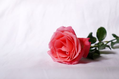 natural roses love