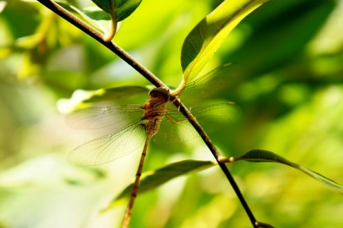 natural insects dragonflies