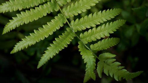 natūralus,paparčio lapas,žalias lapas