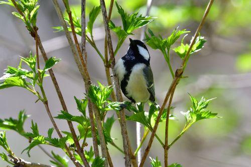 natūralus, lauke, lapai, paukštis, Laukiniai gyvūnai, tits, be honoraro mokesčio