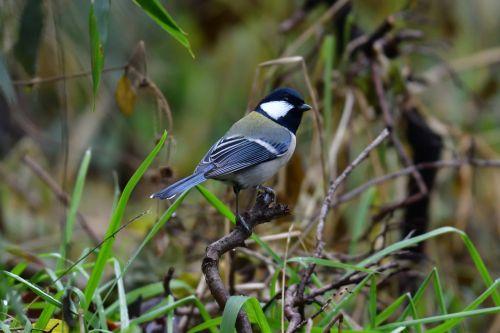 natūralus, Laukiniai gyvūnai, paukštis, gyvūnas, lauke, tits, be honoraro mokesčio