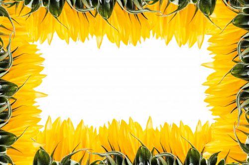 rėmas, natūralus, spalva, spalvos, apdaila, gėlių, gėlė, gamta, modelis, saulėgrąžos, geltona, izoliuotas, balta & nbsp, fonas, natūralus rėmas