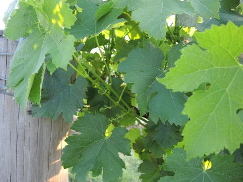 nature grapes vineyard