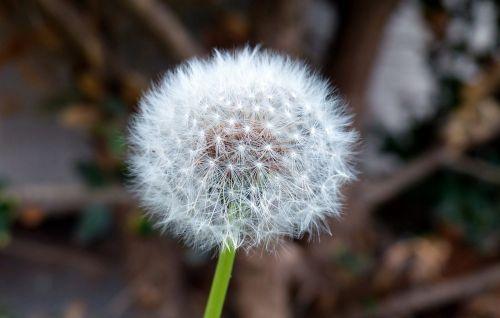 nature plant dandelion
