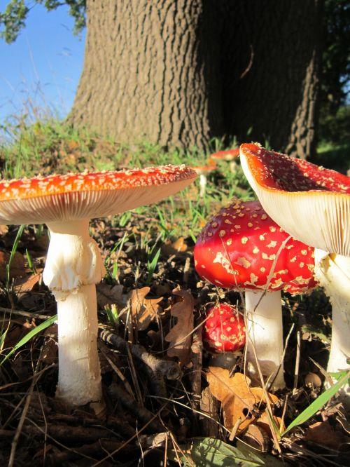 nature mushrooms fly agaric