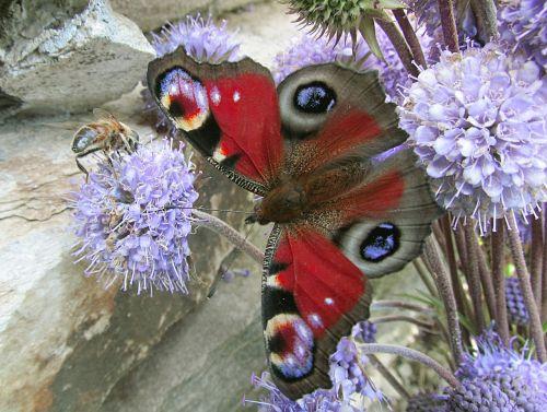 nature butterflies aglais io