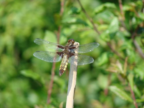 dragonflies nature macro