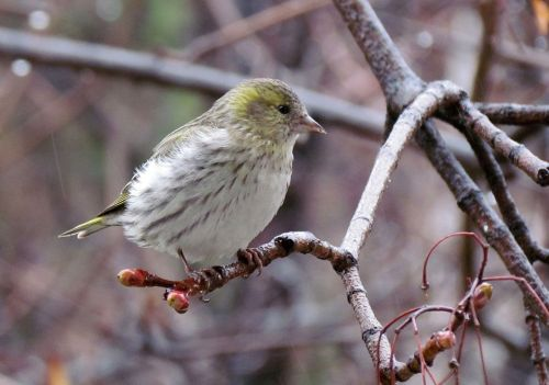 nature birds eurasian siskin