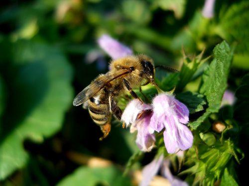 gamta,vabzdys,vasara,gėlė,gėlės,bičių,balta,žiedadulkės,maistas,mov,žalias,išsamiai,šviesa,sodas