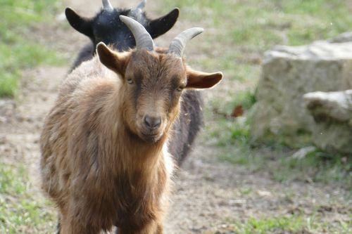 nature animals goat
