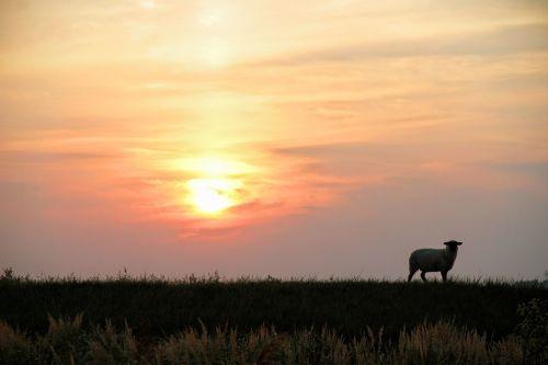 nature dike sheep