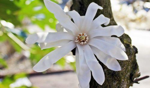 star magnolia nature blossom