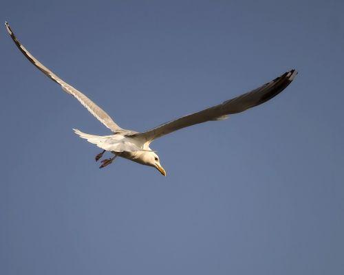 nature seagull gull