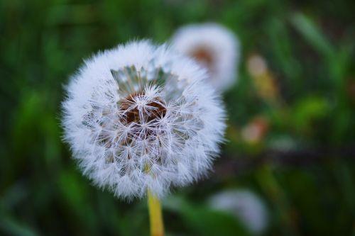 nature dandelion greens