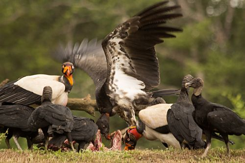 nature predatory birds king vulture