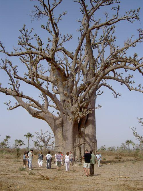nature baobab senegal