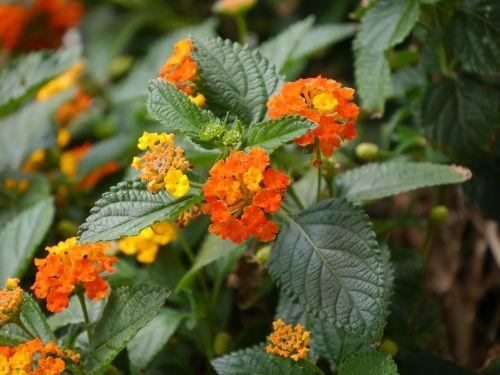 lantana nature plant