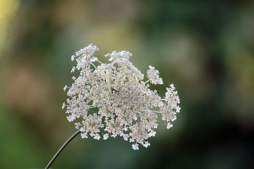 nature plant wild carrot