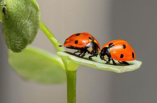 ladybugs ladybirds bugs