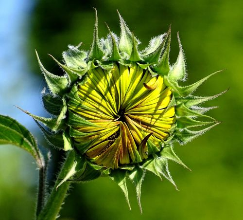 sun flower nature sunflower bud