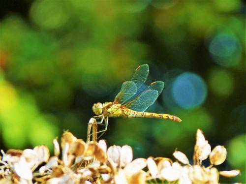 nature dragonfly natural