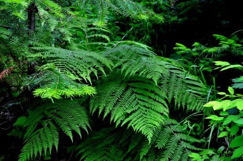 nature fern greens