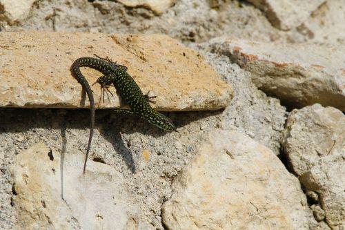 nature lizard animal