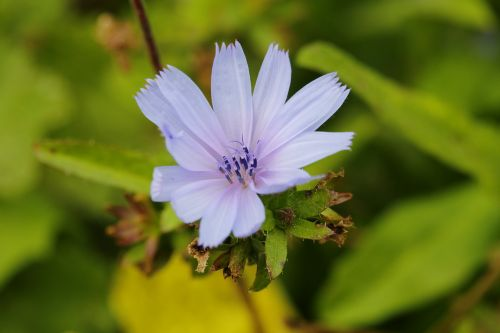 chicory nature fresh