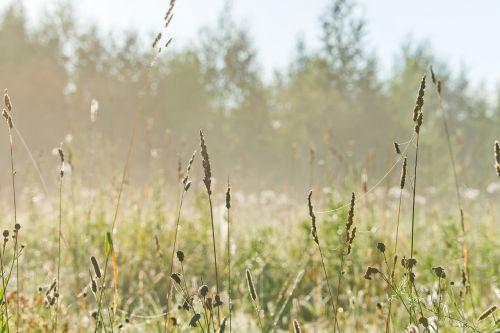 gamta,kraštovaizdis,laukas,saulės šviesa,Siberija,pievos,rytas,žalia žolė,miškas,vasara,augalas