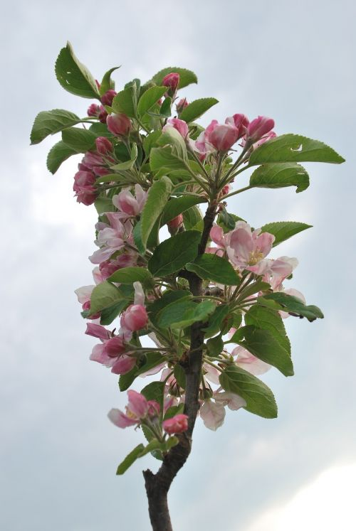 nature cherry blossom lower saxony