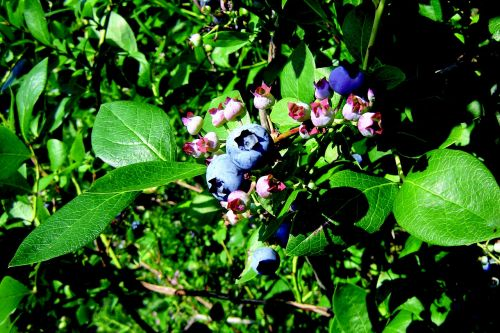 nature bilberry jagoda