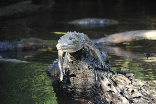 nature crocodile animal world