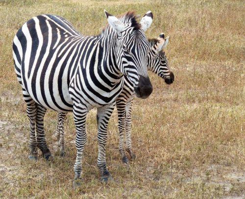 nature zebra safari