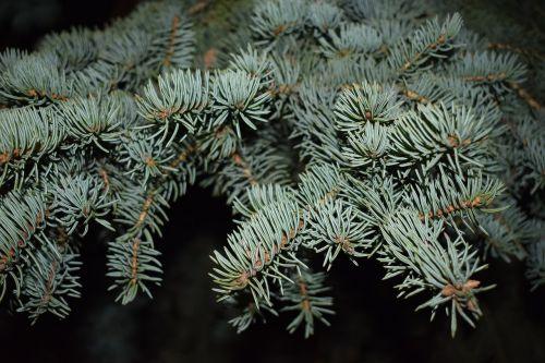 nature spruce blue spruce