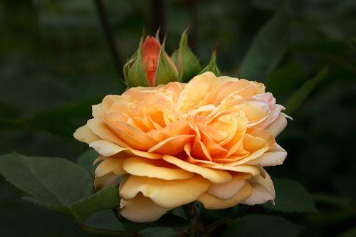 nature flowers garden roses