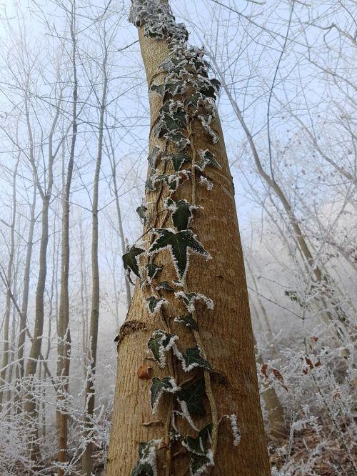nature ivy tree