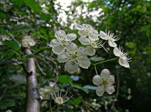 nature tree blossom