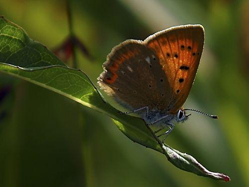 gamta,drugelis,vasara,vabzdys,Švedija,žolė,sparnai,augalas,žalias,augalai,sparnuotas vabzdys,vabzdžiai,flora,vasaros pieva