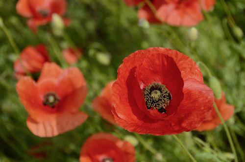 nature poppy flowers