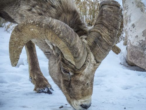 nature animal bighorn