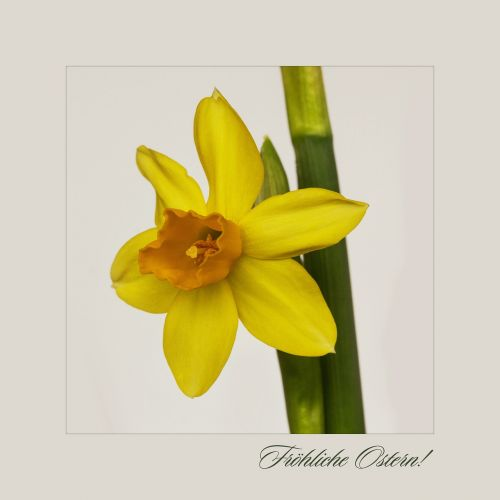 nature flowers daffodil