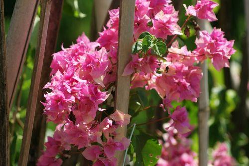nature flower rosa